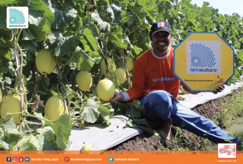 Kiat Sukses Berbudidaya Melon