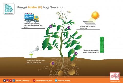 Fungsi Fosfor Bagi Tanaman