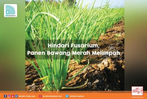 Hindari Fusarium, Panen Bawang Merah Melimpah