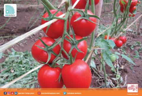 Nutrisi Terpenuhi, Hasil Panen Tomat Berkualitas