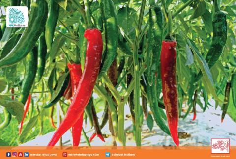 Kurangi Potensi Fusarium dengan Pemberian Nutrisi yang Tepat