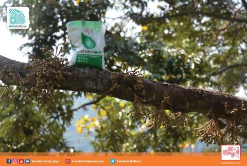 Irama Alam Rangsang Pembungaan Durian