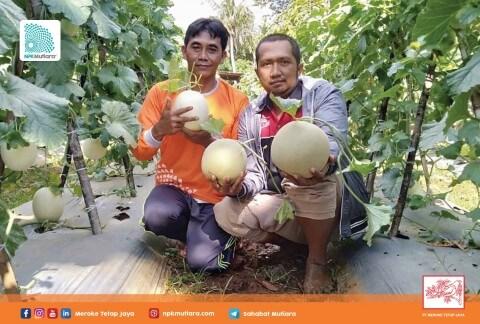Testimoni Mutiara: Petani Melon di Madura