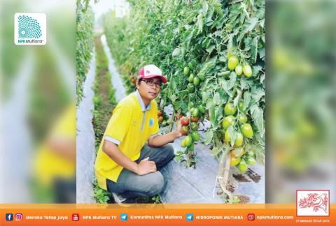 Mengurangi Resiko Pecah Batang Tanaman Tomat Pada Musim Hujan